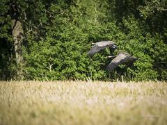 DSC06875 (fotolasse) Tags: soluppgång djur animal natur nature sweden tingsryd canon sony