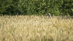 DSC06864 (fotolasse) Tags: soluppgång djur animal natur nature sweden tingsryd canon sony