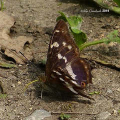 Purple emperor (LPJC (away for August)) Tags: cotgraveforest nottinghamshire butterfly uk 2019 lpjc purpleemperor