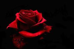 DSC07303 (Argstatter) Tags: flower blume blüten rot rose bokeh makro
