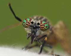 Haematopota pluvialis (Vespidae_Alex) Tags: horsefly haematopota pluvialis macro diptera uk alex northey whaley bridge