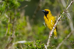 Black masked Weaver (J-F No) Tags: weaver masked birds oiseaux aves animals fauna wildlife nature sony a7rii tamron 150600mm sibuya reserve africa south
