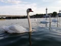 Cisne del Danubio (marcollamas) Tags: swan marco negrete donau danube wien vienna austria