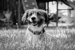 B&W Animals 6 (Jenna Weller) Tags: landscape blackandwhite bw portrait dog dogs canine animal mammal outside outdoors nature naturallight softlight cute adorable beautiful grass texture puppy