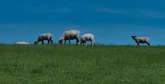 ...auf dem Deich (achim-51) Tags: lumixgvario14140f3556 panasonic lumix dmcg5 natur outdoor grün green blau blue tiere himmel gras deich