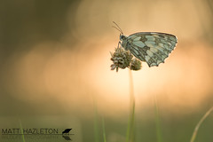 Marbled white (Matt Hazleton) Tags: butterfly insect animal wildlife nature outdoor canon canoneos7dmk2 canon100mm 100mm eos 7dmk2 matthazleton matthazphoto marbledwhite melanargiagalathea summerleys bcnwildlifetrust northamptonshire