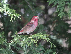 Purple Finch (Carpodacus purpureus) (Gerald (Wayne) Prout) Tags: purplefinch carpodacuspurpureus animalia chordata aves passeriformes fringillidae carpodacus purpureus purple finch finches birds bird animal fauna animals perchingbirds songbirds wildlife nature mybackyard mountjoytownship cityoftimmins northeasternontario ontario canada prout geraldwayneprout canon canoneos60d eos 60d digital slr camera canonlensef70300mmf456isusm lens ef70300mmf456isusm photographed photography backyard mountjoy township city timmins northeastern northernontario cedar melrosegardens
