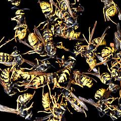 Dead Wasps : Welcome at Anthropocene (Desc/Em) Tags: wasp insecte insect macro biodiversity biodiversité alpesmaritimes anthropocene southernfrance france invertebrates invertébrés yellow black