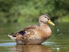 Mallard (PhotoLoonie) Tags: duck waterbirds mallard bird nature wildlife