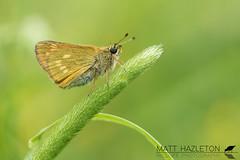 Large skipper (Matt Hazleton) Tags: butterfly insect animal wildlife nature outdoor canon canoneos7dmk2 canon100mm 100mm eos 7dmk2 matthazleton matthazphoto ochlodessylvanus largeskipper skipper fermynwoods fermyn northamptonshire