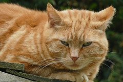 Grumpy Chastleton Cat (John of Witney) Tags: cat animal chastleton chastletonhouse nt nationaltrust oxfordshire