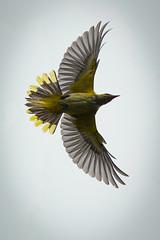 Oriolus (madziulka_a) Tags: oriolus poland nikon d850 nikkor 200500mm nature wildlife photography wilga bird