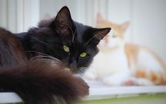 IMGP0776 (PahaKoz) Tags: фауна питомец котейка котэ кот чёрный рыжий портрет fauna pet cat tomcat portrait black red