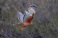 My Red Falcon from my House, Two-Rock (Vern Krutein) Tags: california usa petaluma tworock wings flight falcon