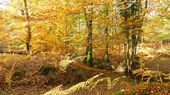 New Forest NP, Hampshire, UK (east med wanderer) Tags: england hampshire newforestnationalpark nationalpark autumn lyndhurst highlandwater beech oak bracken worldtrekker