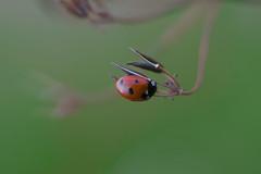 (Knipser85) Tags: sigma 105mm 28 macro lens makro insketen inscet bee biene wespe hornisse marienkäfer käfer bugs natur bokeh