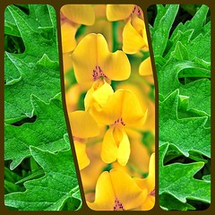 Yellow & Green Nature Machine.... (BIKEPILOT, Thx for + 5,000,000 views) Tags: flowers leaves petals nature naturalworld green yellow colour contrast abstract triptych photoshopped photoshop plant flora colourful bright