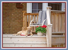 A Dogs Life (bigbrowneyez) Tags: dog nature animal chilling ruby cane furry sweet natura adorable veranda resting wood flowers pot beatiful steps fiori geraniums ottawa adogslife momsneighbour