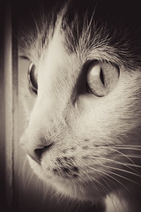 Sandy (AshleyAbbottPhotography) Tags: animals animal cat cats bw cute calico