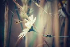 ...forgetting the big world... (***étoile filante***) Tags: chamomile kamille flower blume natur nature insect insekt animals tiere bug käfer schwebfliege field feld cornfield getreidefeld beautiful beauty beauté summer sommer wiese meadow pentaxk30 dof bokeh bokehlicious corn getreide