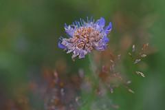 (Knipser85) Tags: sigma 105mm 28 macro makro lens objektiv sony alpha a58 alpha58 flower