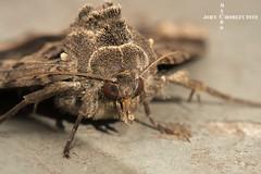 Old Lady moth Mormo maura (John Chorley) Tags: macro macros macrophotography moth oldladymoth mormomaura nature johnchorley 2019 closeup closeups wildlife