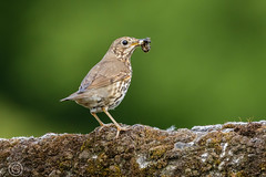Wildlife Weekend May 2018 167 - Meadow Pipit with a beak full of.....something (Mark Schofield @ JB Schofield) Tags: wildlife birds animals pennine colnevalley huddersfield yorkshire slaithwaite meltham marsden