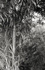 Churwell Woods 4 (vickyhindle) Tags: 35mmfilmphotography blackwhite churwell woods canoneos3 canonef50f14 ilfordfp4 ilfosol3developer