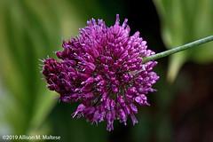 Alium after the Rain (A.Maltese) Tags: alium onion botanical flower blossom spiky plant garden purple dewy raindrops