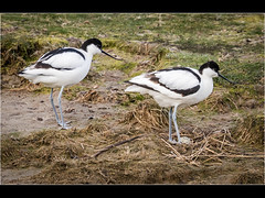Avocets (Paul West ( pwest.me )) Tags: avocet rspb bird nature rspbleightonmoss naturelovers wildlife wildlifepics macro wildlifepictures wildlifephotographer wildlifephotography naturephotography naturepictures naturephotographer birdphotography animal naturephotoportal poultonphotosoc photography tit wildlifeplanet intothewild wildlifeperfection naturephoto naturepics naturepic naturecollection natureseekers tits wildlifephotos animalsofinstagram animalphotos animalphotography