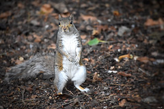 Squirrel! (Nina_Ali) Tags: squirrel wildlife england nature fauna
