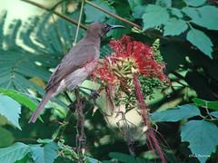 Blue-throated Brown Sunbird Cyanomitra cyanolaema octaviae (nik.borrow) Tags: bird sunbird budongo