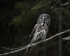 Great Gray Owl (JH') Tags: wildlife evening explore trees tree outdoor outdoors photoshoot photography sweden summer d850 forest green colors birds bird owl beautiful wonderful nikon nature naturephotograph nikkor nikond850