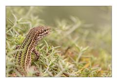 Lizard (mcgin's dad) Tags: canon700d lizard