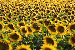 Sunflower Texture (CoolMcFlash) Tags: field flowers sunflower pattern summer fujifilm xt2 yellow feld blumen sonnenblume muster soommer fotografie photography row xf18135mmf3556r lm ois wr plant pflanze dof deptoffield tiefenschärfe texture natur nature