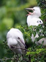 Big Yawn (PelicanPete) Tags: bird aviancapture inthewild nature saintaugustine florida unitedstates usa beauty natural treetop nest nesting 7519 snowyegret chicks bigyawn tongue