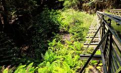 Different Bridge (LeftCoastKenny) Tags: elcortedemaderacreek trees brush ferns bridge trail path