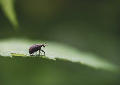 Weevil's wobble but they don't fall down . . . (mpalmer934) Tags: weevil beetle insect macro bokeh leaf summer weeble wobbles nature