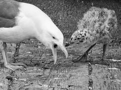 Growing Up Gull (6 of 7) (Ingrid Taylar) Tags: gull chick baby babies seagull parent feeding juvenile regurgitation birds marine summer nesting olympus california central coast