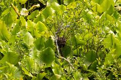 7K8A3210 (rpealit) Tags: scenery wildlife nature great swamp national wildife refuge bird nest