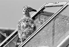 Growing Up Gull (5 of 7) (Ingrid Valda Taylar) Tags: gull chick baby babies seagull gulls boat nest abandoned unusual summer olympus spotted westerngull wegu juvenile unusualnest
