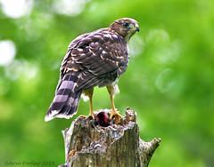 Coopers Hawk (Arvo Poolar) Tags: outdoors ontario canada cranberrymarsh whitby arvopoolar nikond500 nature naturallight natural naturephotography coopershawk hawk bird birdofprey raptor perched trees