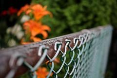 Fenced Friday - HFF & TGIF! (Daryll90ca) Tags: hff fencedfriday fence flower flowers daylilies chainlink