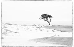 Pebble Beach (biskayano) Tags: california pebble beach tree lone water art sand dessert brush