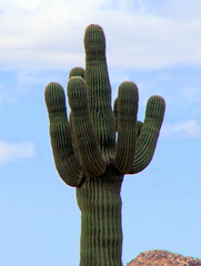 Saguaro Cactus - Central Arizona (danjdavis) Tags: saguaro cactus saguarocactus desertplant arizona