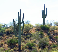 Saguaro Cacti - Central Arizona (danjdavis) Tags: saguaro cactus saguarocactus desertplant arizona
