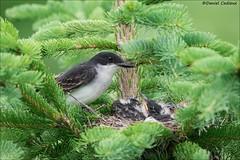 Eastern Kingbird Nest. (Daniel Cadieux) Tags: kingbird easternkingbird family nest nestlings nesting babies forest evergreen ottawa