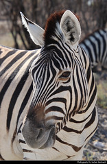 Zebra, Etosha NP, Namibia (JH_1982) Tags: zebra zebras cebra zèbre 斑馬 シマウマ 얼룩말 зебры animal animals wildlife nature tier tiere waterhole natur etosha national park nationalpark np pn parque parc nacional etoscha 埃托沙國家公園 этоша namibia namibië 纳米比亚 ナミビア 나미비아 намибия