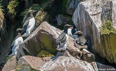 A gathering of Murres (Photosuze) Tags: birds avians murres commonmurres animals nature wildlife rocks seabirds
