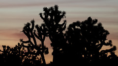 Wee Thump (magnetic_red) Tags: joshuatrees wild wilderness sky sunset silhouette nevada americanwest wee thump